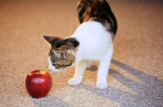 cat-sniffing-apple-1024x683